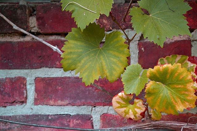 Vine, Vine Leaves, Wine, Wine Leaf, Autumn, Leaf