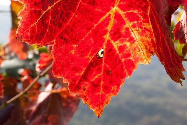 Wine, Leaf, Wine Harvest, Vineyard, Plant, Autumn
