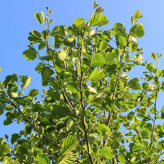 Tree, Sky, Green, Nature, Branch, Birch, Leaf, Leaves