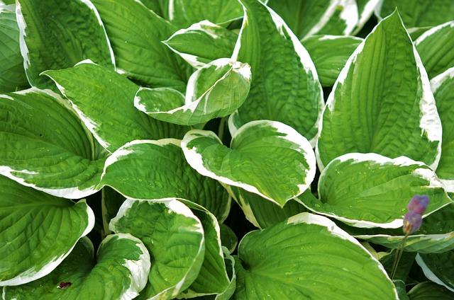 Hosta, L, Leaf, Garden, Blooming, Natural, Macro