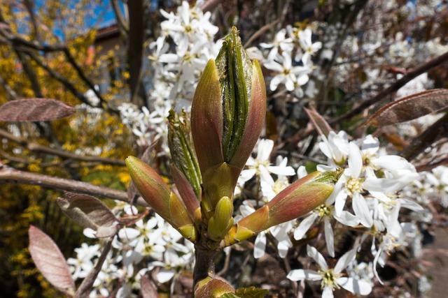 Amelanchier, Leaf Bud, Kernobstgewaechs, Large