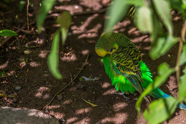 Nature, Animal World, Bird, Leaf, Animal, Budgie