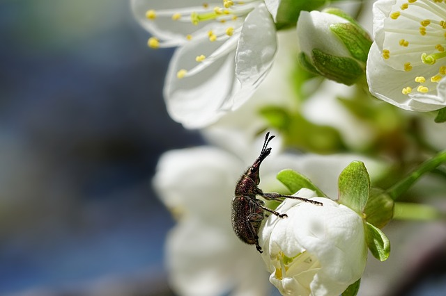 Nature, Plant, Cherry Blossom, Beetle, Leaf