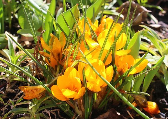 Crocus, March, Spring Flowers, Nature, Leaf, Plant