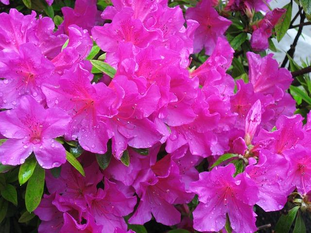 May, Azalea, Pink, Flowers, Rain, Drop Of Water, Leaf
