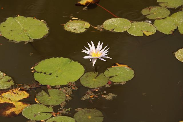 Pool, Leaf, Nature, Flora, Flower, Park, Lily, Water