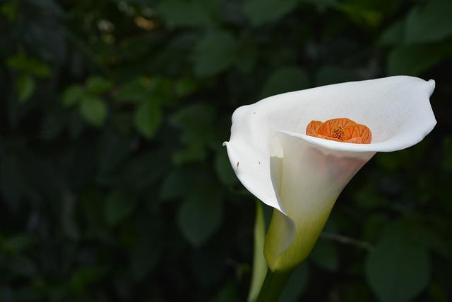 Calla Lily, Flower, Leaf, Nature, Flora, Garden, Macro