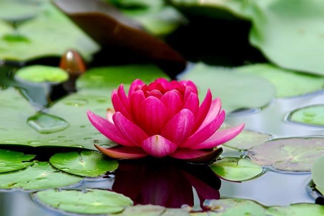 Flowers, Lotus, Water Lilies, Plants, Leaf, Wildflower