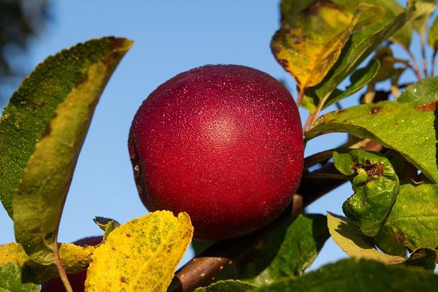 Fruit, Nature, Leaf, Tree, Food, Apple, Dew, Morgentau