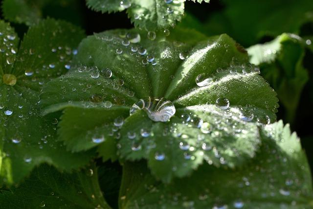 Frauenmantel, Plant, Leaf, Green, Drop Of Water, Close