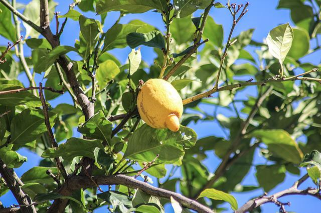 Mallorca, Lemon, Lemon Tree, Citrus Fruit, Leaf, Fruit