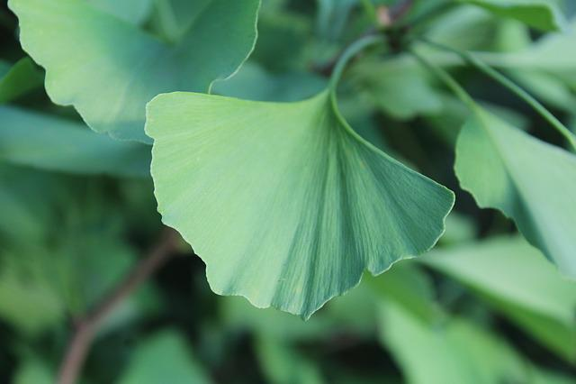 Ginkgo, Leaf, Green
