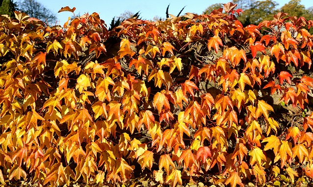 Autumn, Golden Autumn, Leaf, Virginia Creeper