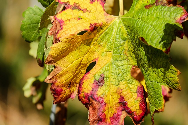 Wine Leaf, Leaf, Color, Fall Color, Grapevine, Plant