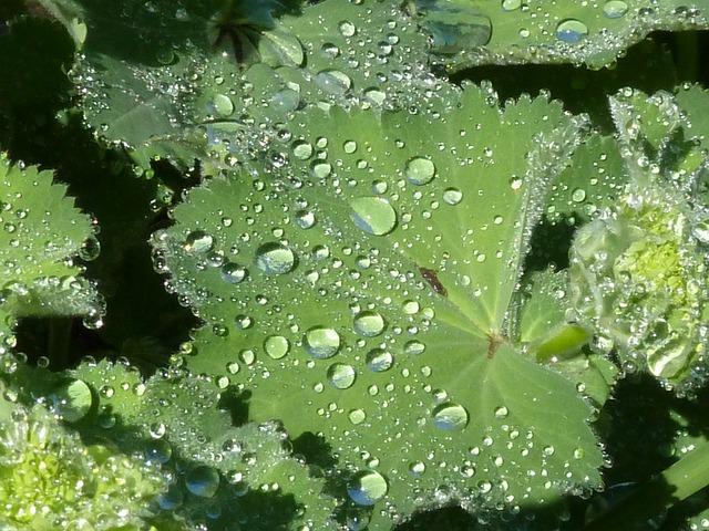 Frauenmantel, Leaf, Dewdrop, Drop Of Water, Green, Drip
