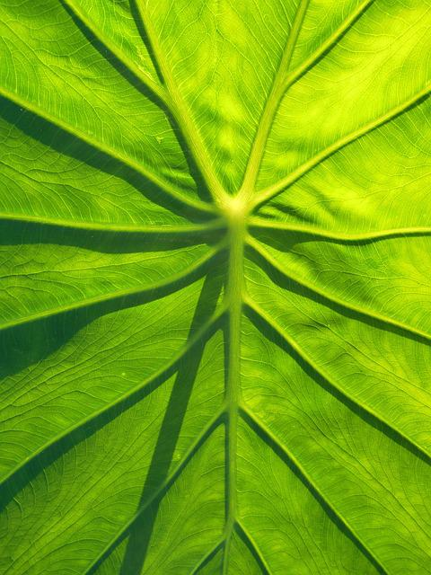 Leaf, Taro, Natural, Green, Leaf Vegetables, Plant