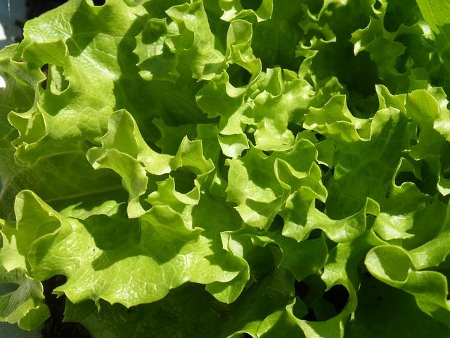 Food, Lettuce Grown, Vegetable, Leaf, Plant, Green