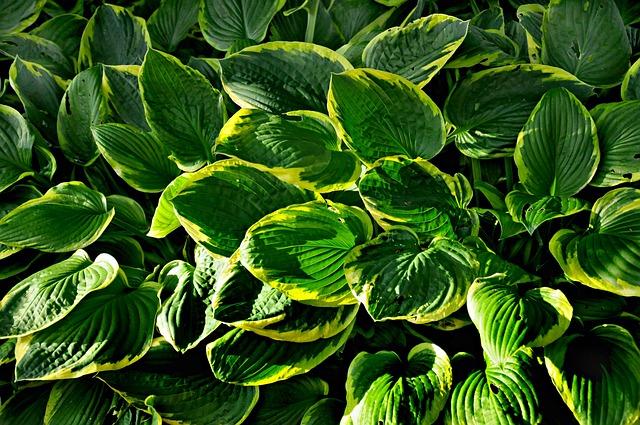 Hosta, Plant, Leaf, Garden, Shady, Flowerbed, Macro