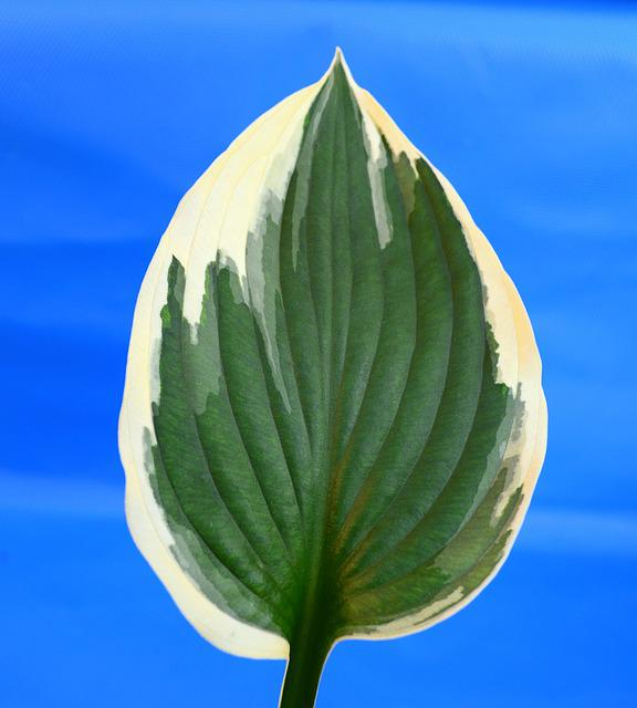 Plantain Lily, Hosta, Minute Man, Leaf, Variegated