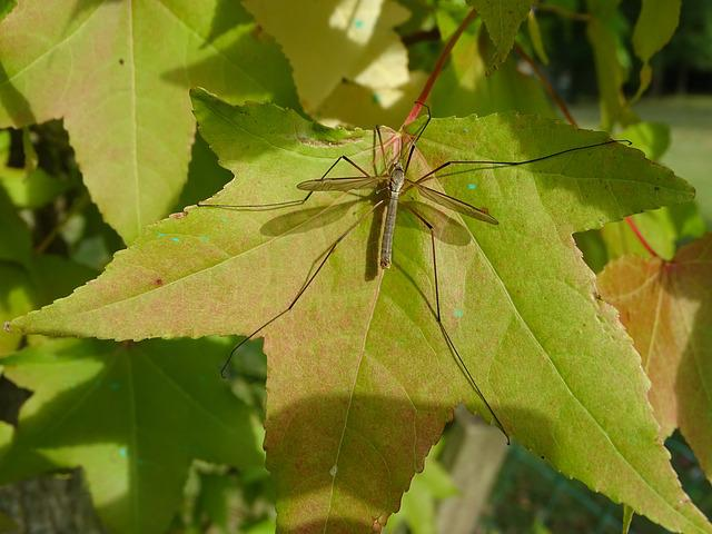 Mosquito, Leaf, Maple, Fall, Insect