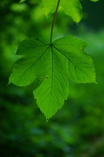 Mountain Maple, Leaf, Green, Leaf Ribs