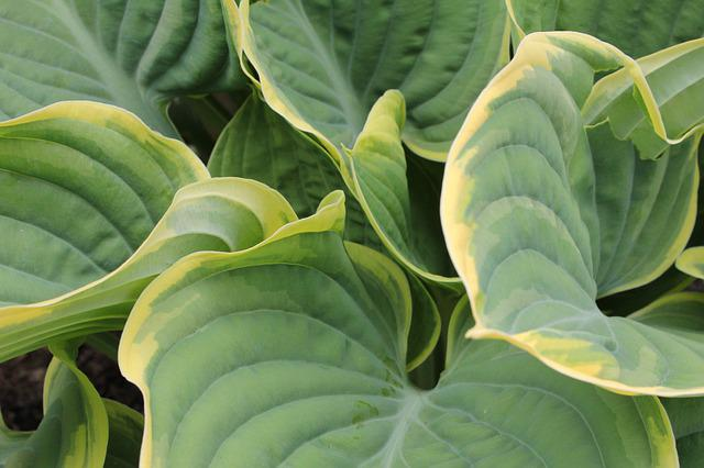 Plantain Lily, Hosta, Leaf, Leaves, Ribbed, Bicolour