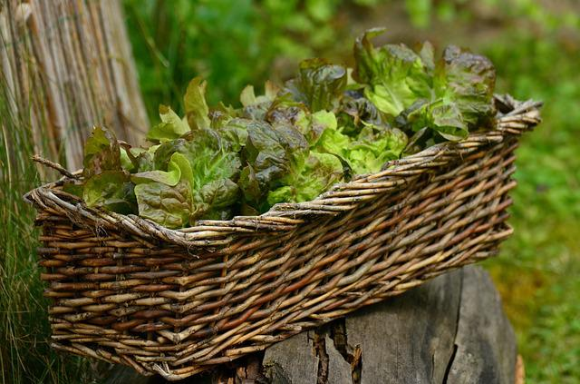 Salad, Leaf Lettuce, Bio, Frisch, Healthy, Lettuce