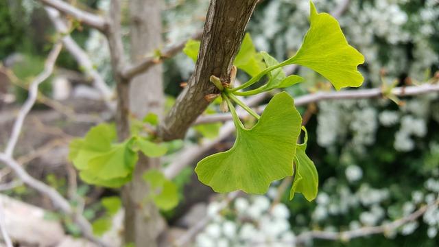 Gingko, Leaf, Nature, Tree, Plant, Medicinal Plant