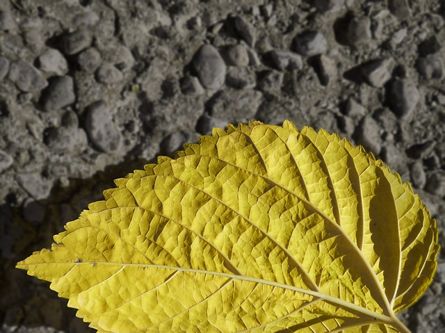 Leaf, Yellow, Autumn, Mulberry