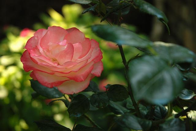 Flower, Rose, Leaf, Nature, Flora