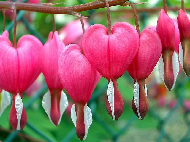 Nature, Flower, Leaf, Plant, Garden, Bleeding Heart