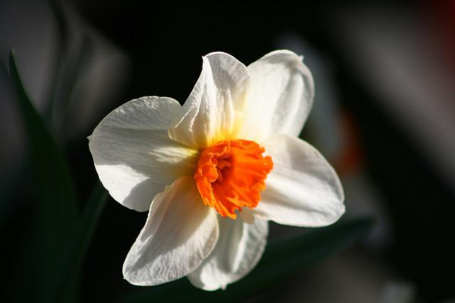 Flower, Plant, Nature, Petal, Leaf, Close, Daffodil