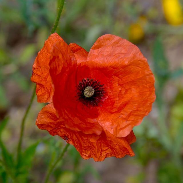 Flower, Plant, Poppy, Nature, Garden, Petal, Leaf
