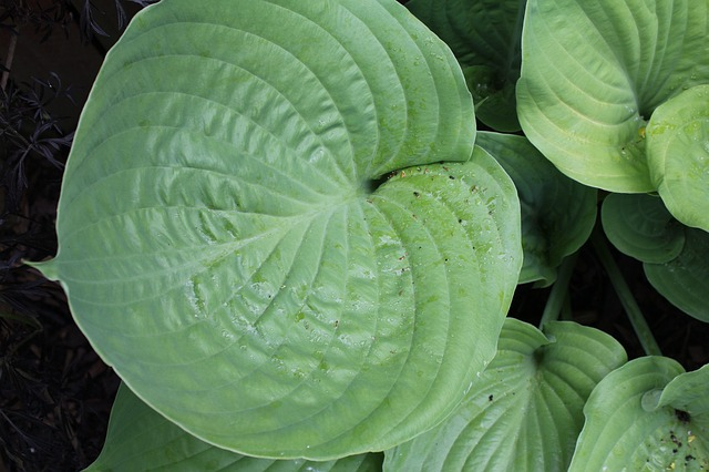 Plantain Lily, Hosta, Leaf, Green, Leaves, Plant