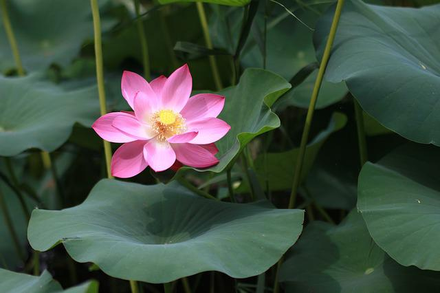 Plants, Lotus, Aquatic, Leaf, Flowers, Nature