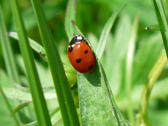 Ladybug, Beetle, Red, Points, Lucky Charm, Luck, Leaf