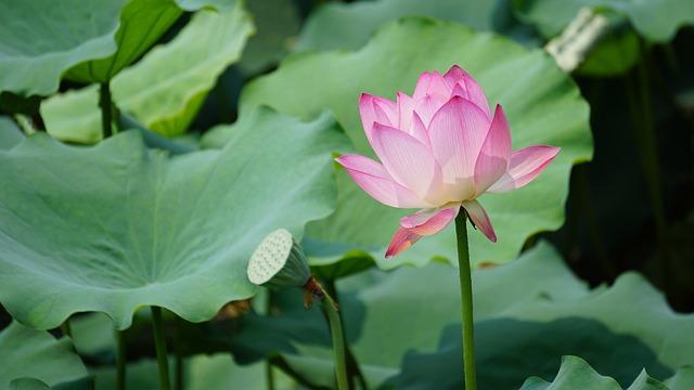 Lotus, Plant, Aquatic Plants, Pond, Leaf