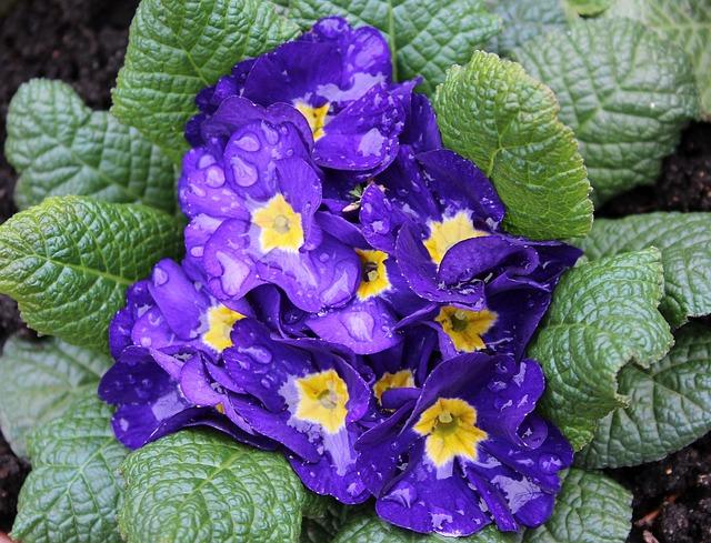 Primula, Prymulka, Rain Drops, Spring Flowers, Leaf