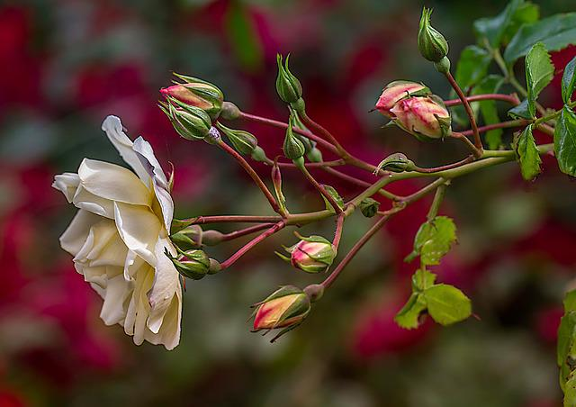 Nature, Flower, Plant, Leaf, Tree, Roses, Colorful