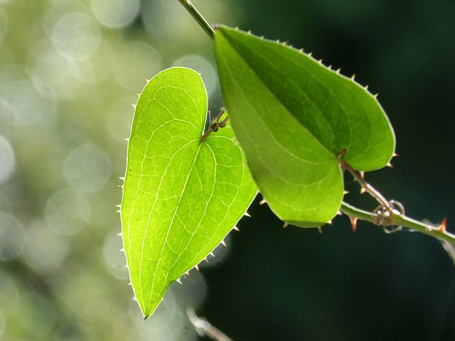 Leaf, Sarsaparilla, Translucent