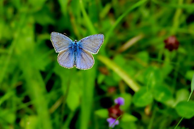 Common Blue, Nature, Summer, Grass, Leaf, Butterfly