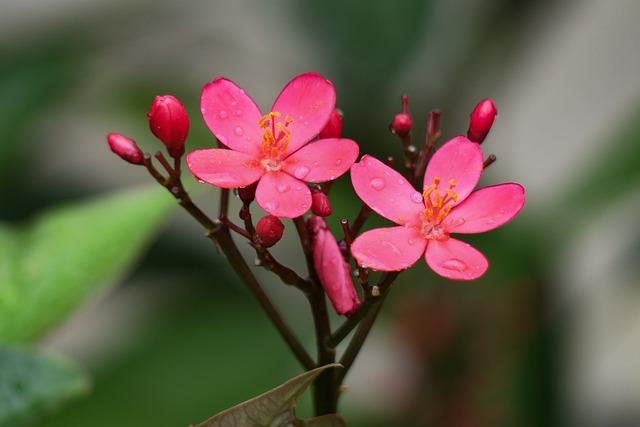 Qin Leaf Coral, Nature, Plant, Flower, Leaf, Summer