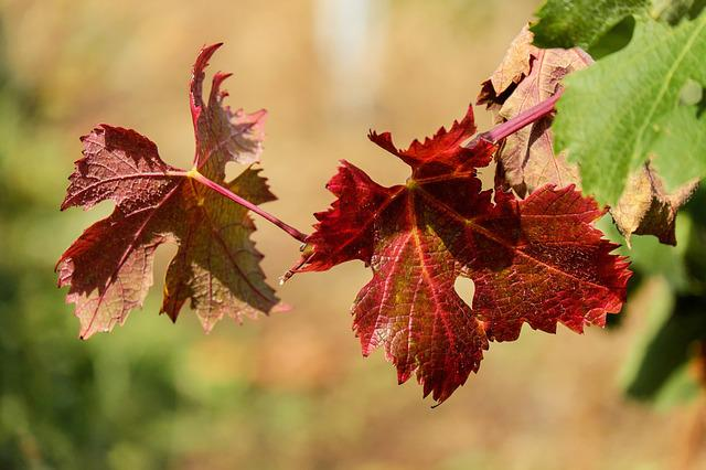 Wine Leaf, Leaf, Bright, Red, Sunny, Fall Color