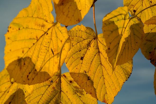 Lipovina, Autumn, Yellow, Leaf Coloring, Leaf Veins