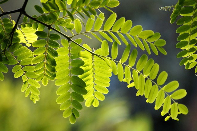 Common Maple, Leaf, Green, Robinia, Leaf Veins