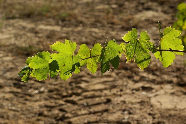 Leaf, Vine, Vineyard, Autumn Leaves