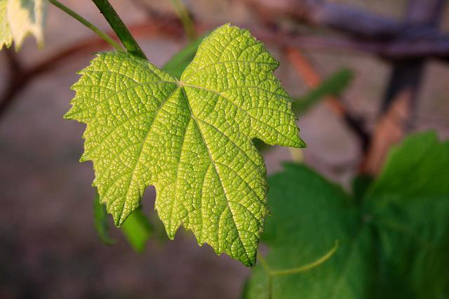 Vine Leaf, Young, Green, Leaf, Vine