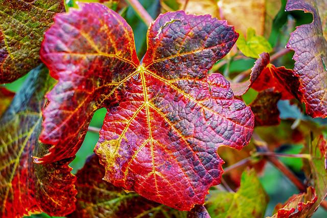 Wine Leaf, Leaf, Red, Fall Color, Emerge