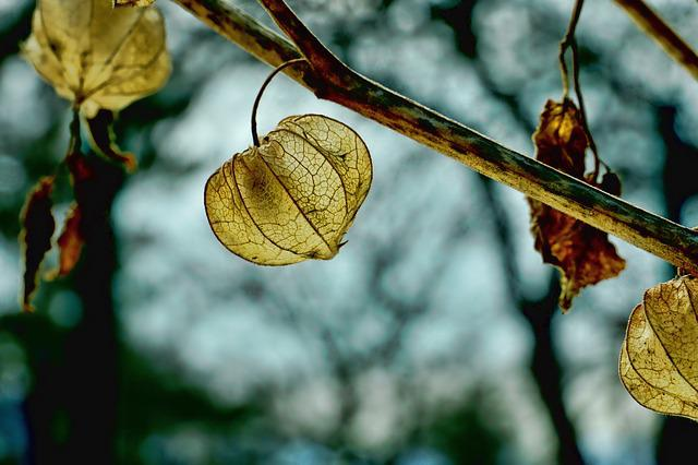 Leaf, Autumn, Winter, Back Light, Plant, Physalis