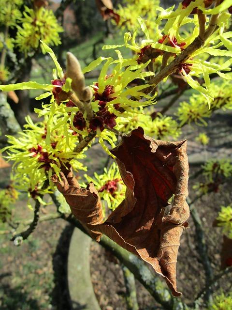 Witch Hazel, Leaf, Bush, Shrub Bloom, Plant, Close